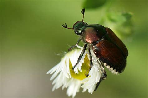 asian beetle allergy jpg 800x533