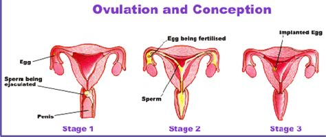 Ovulation and safe period what is the safe period to have png 520x220